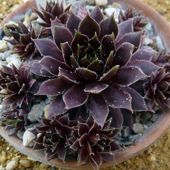 sempervivum_black